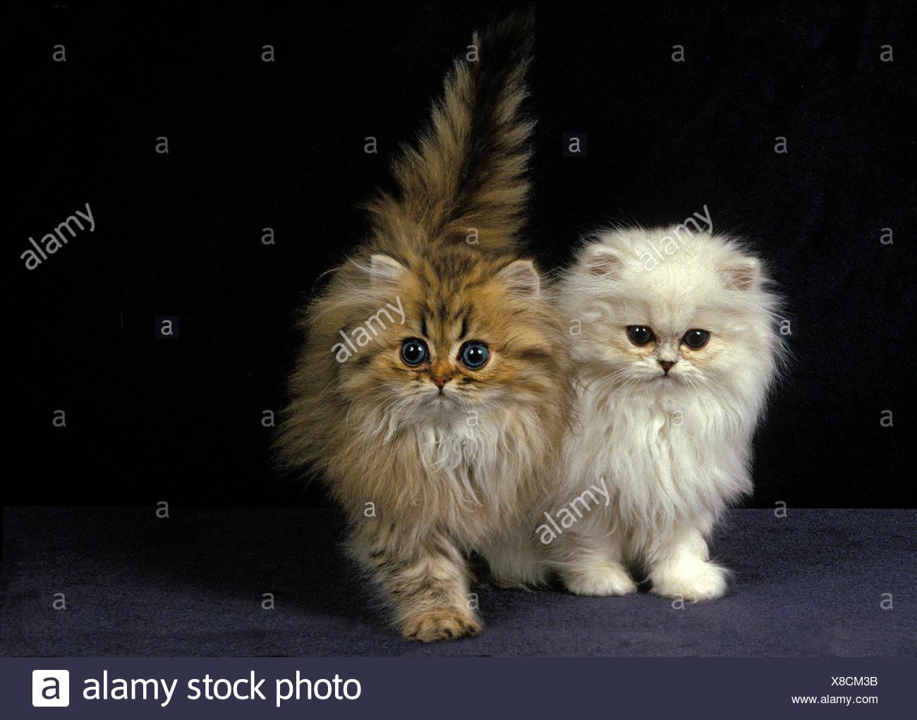 Golden Und Chinchilla Perser Katze Katzchen Stockfotografie Alamy