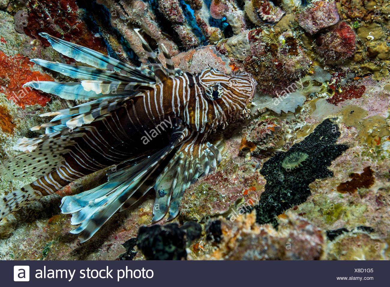 Feuerfische in unnatürlichen Lebensraum Stockbild