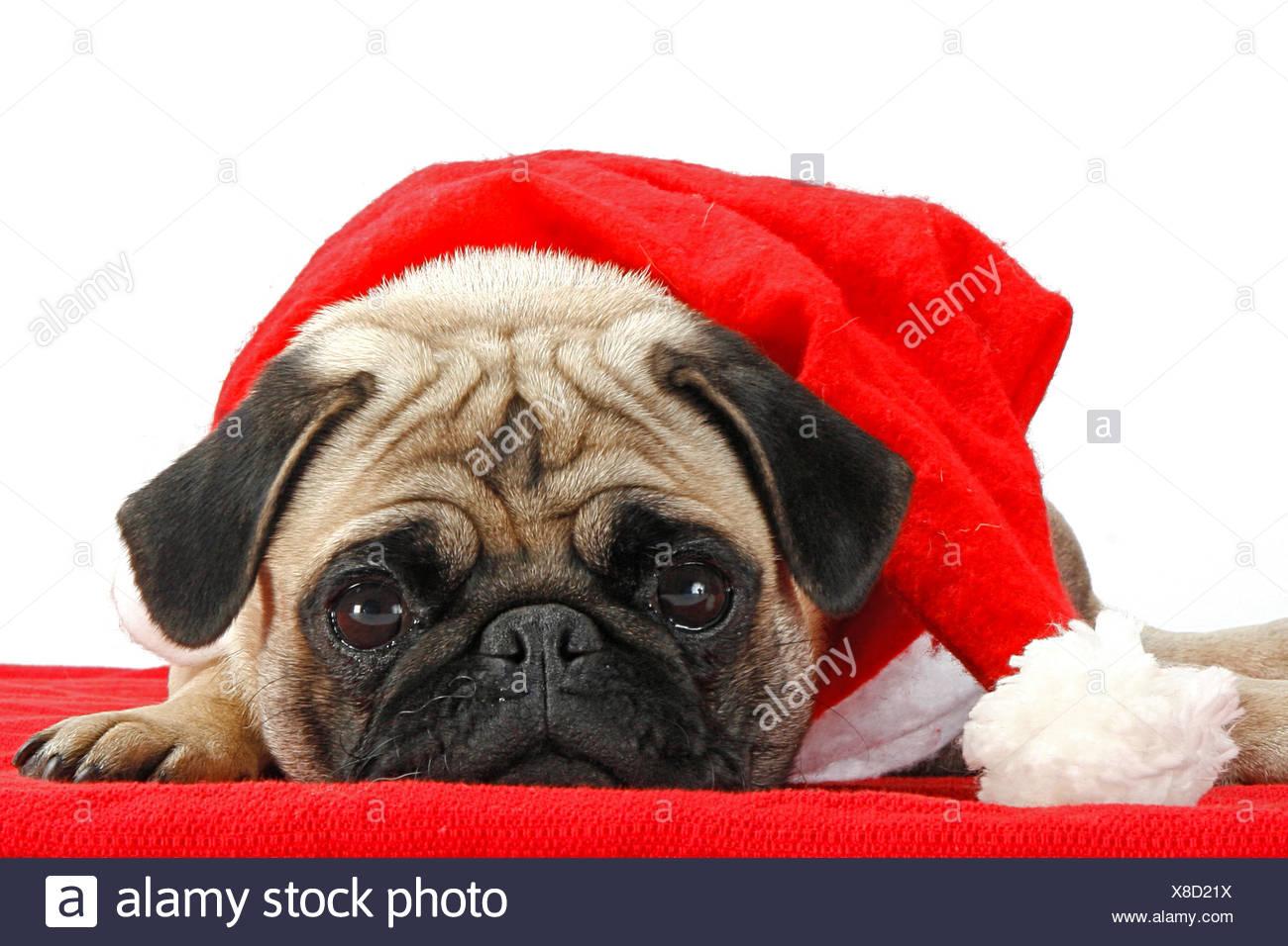 Mops Bilder Weihnachten.Weihnachten Mops Mit Weihnachtsmann Mütze Stockfoto Bild