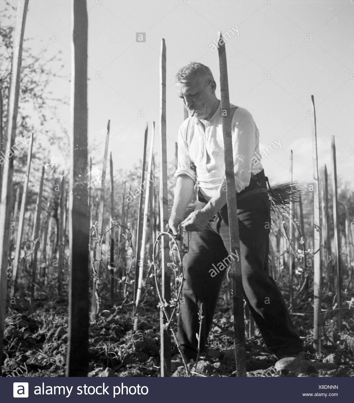 Ein Winzer Schwitzt Bei der Arbeit in seit Weinberg, 1930er Jahre Deutschland. Ein Winzer arbeiten im Weingarten, Deutschland der 1930er Jahre. Stockbild