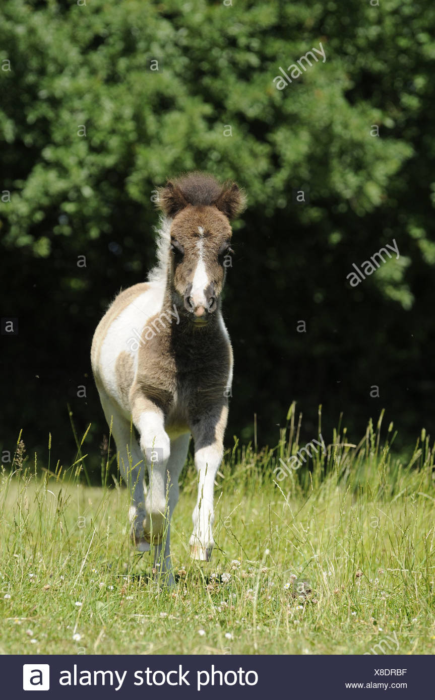 brown white miniature shetland pony stockfotos brown white miniature shetland pony bilder alamy. Black Bedroom Furniture Sets. Home Design Ideas