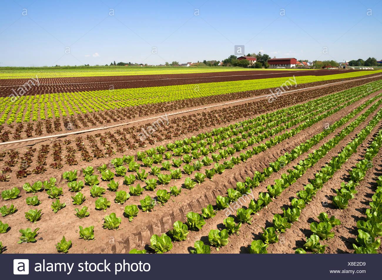 """Salat, Anbau in """"Knoblauch""""Land, Gemüseanbau, Bereich in Höfles in der Nähe von Nürnberg, Middle Franconia, Bayern, Deutschland Stockfoto"""