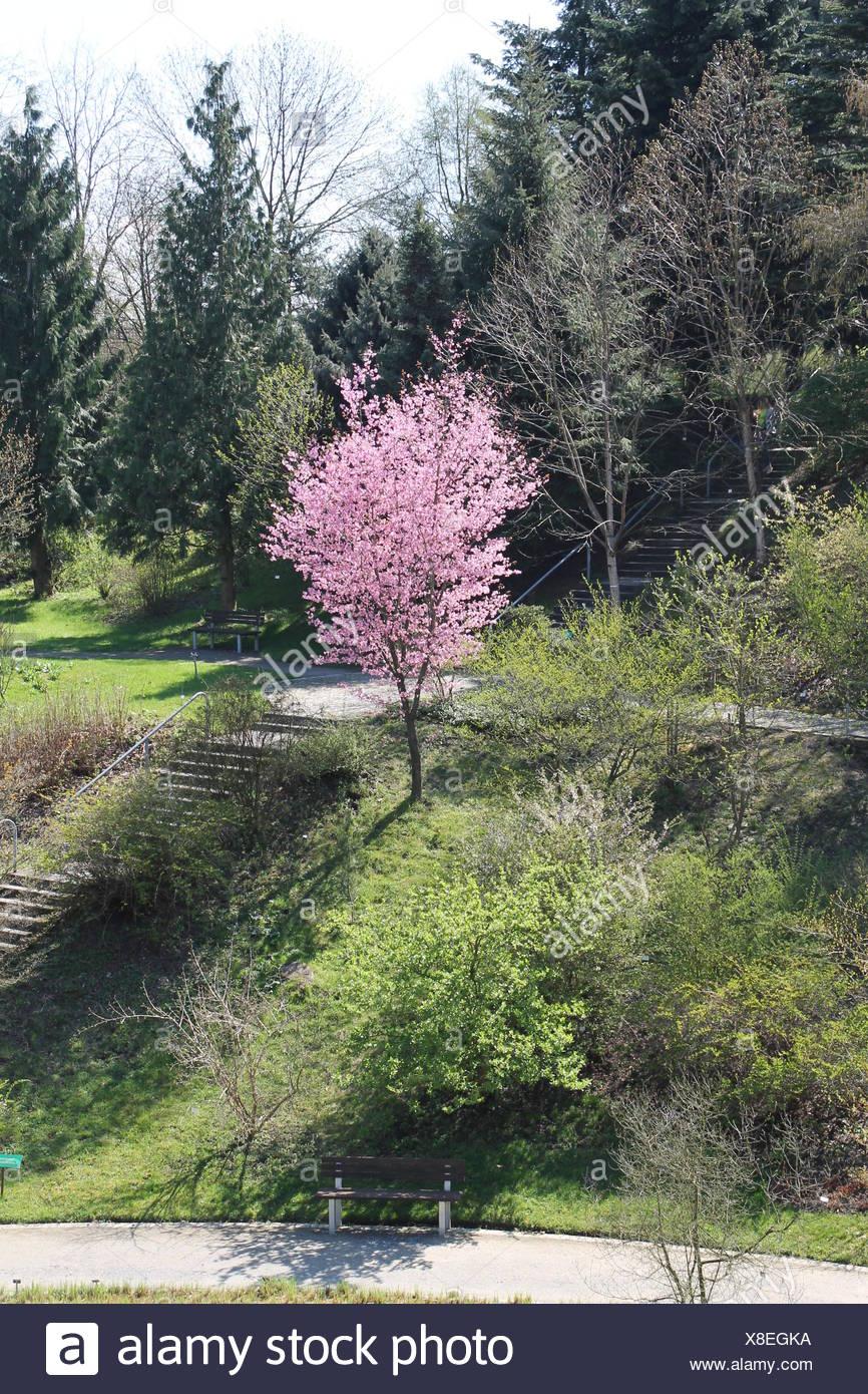 Baum Park Garten Kirsche Garten Natur Treppen Schon