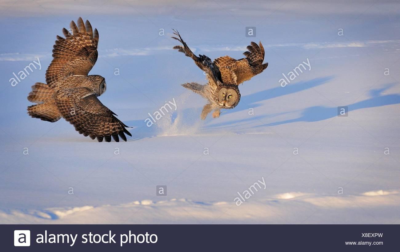 Zwei große grau-Eulen kämpfen, Montreal, Quebec, Kanada Stockbild