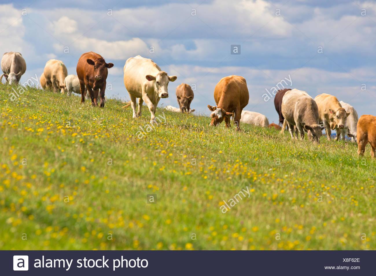 Kuhherde auf schrägen ländlichen Gebiet Stockbild