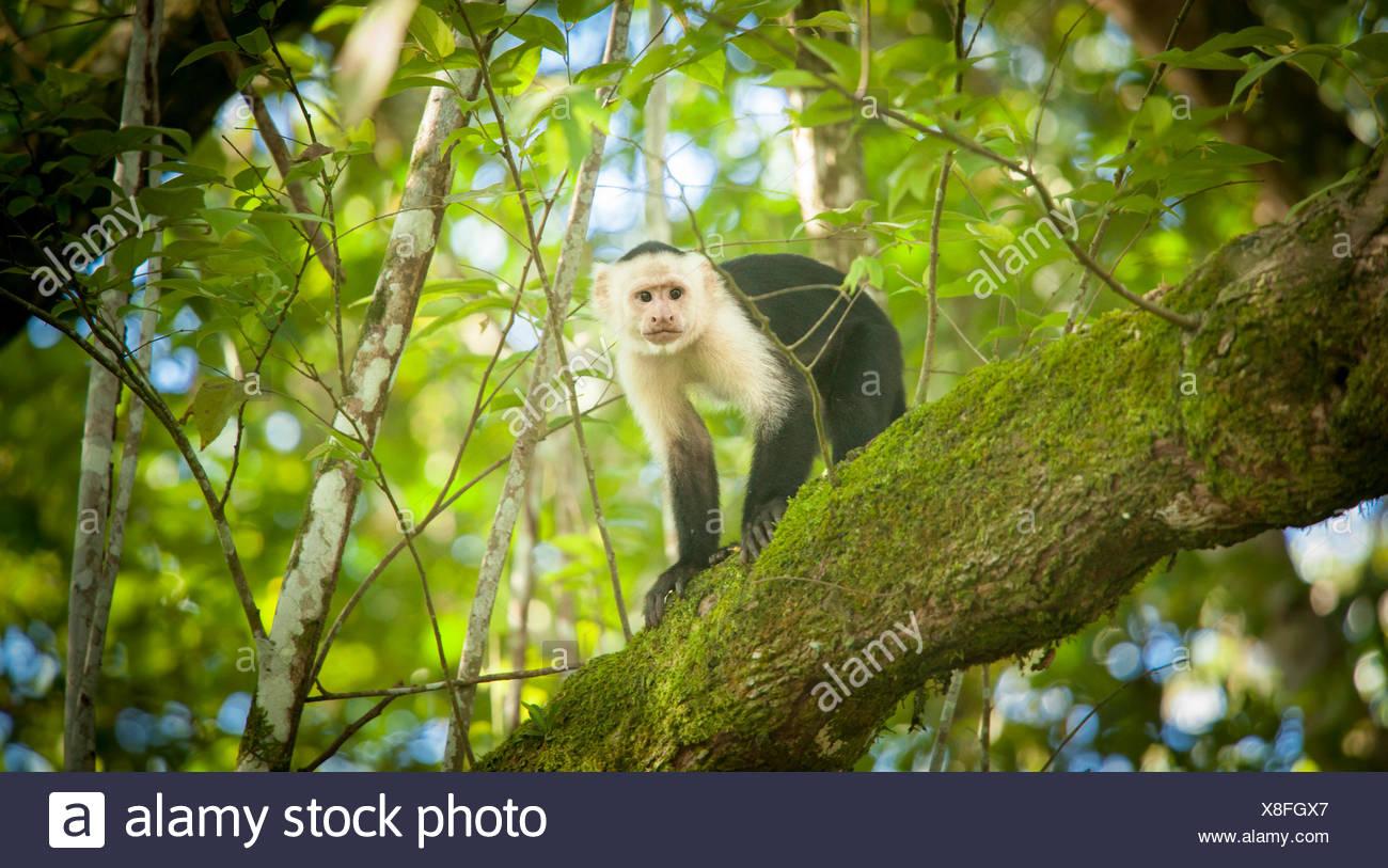 Porträt eines Affen in einem Baum. Stockbild