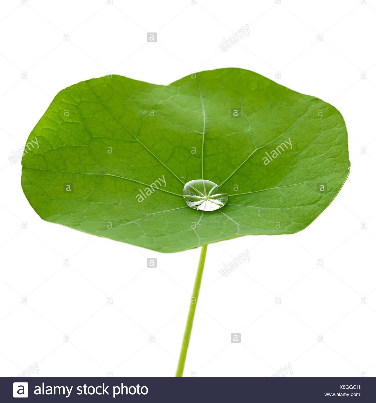 Kapuzinerkresse Blatt mit Wassertropfen. Stockbild