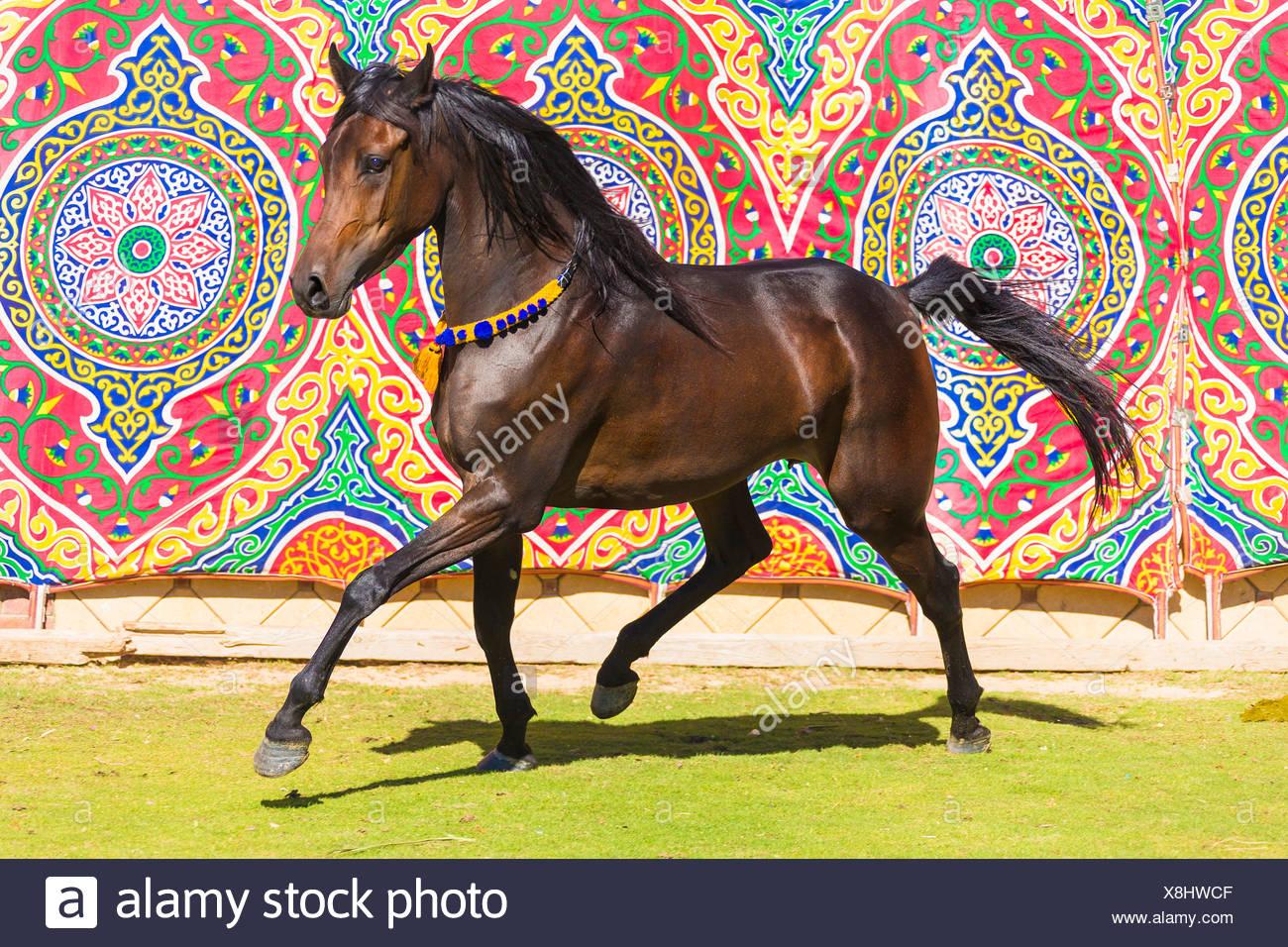 arabisches pferd. stute im trab mit bunten wand tapete im