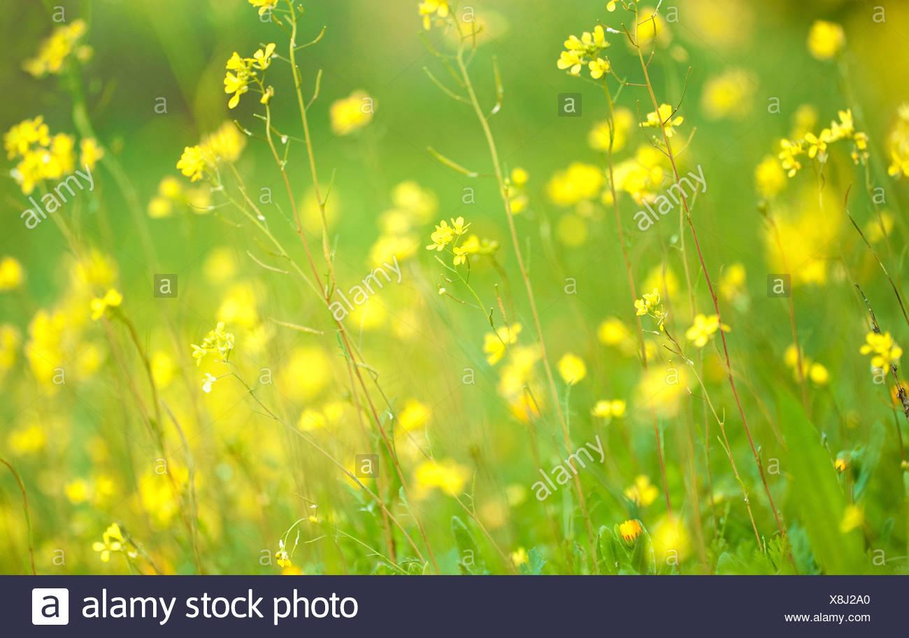 Hintergrundbeleuchtung gelben Blüten Andalusien Spanien Stockbild