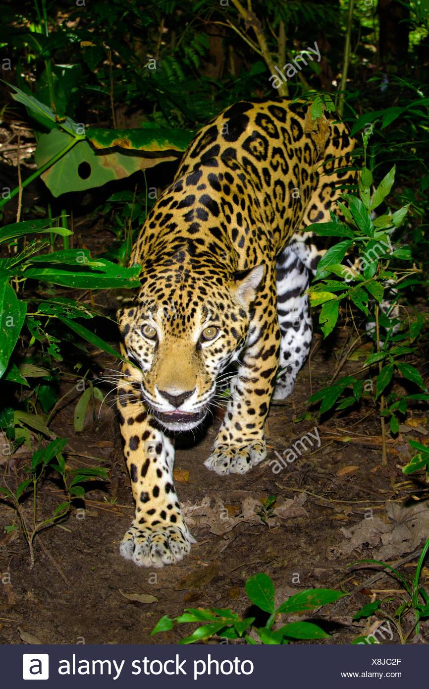 Jaguar (Panthera Onca), tropischer Regenwald, Belize, Mittelamerika Stockbild