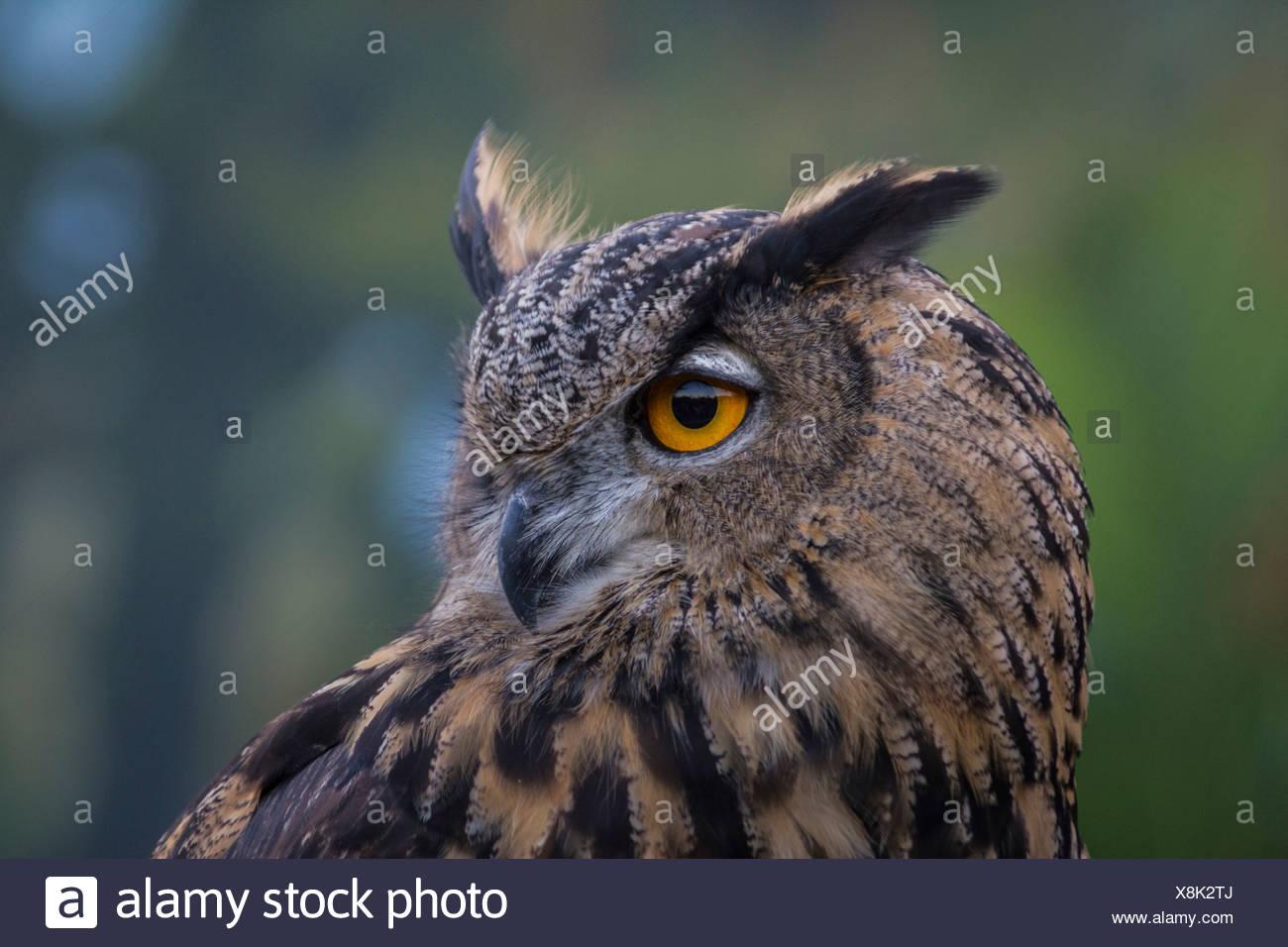 Vögel der Beute, Vogel, Blackland Prairie Raptor Center, Bubo Virginianus, große gehörnte Eule, Eule, Hunter, leptogrammica, Texas, Tiger O Stockbild