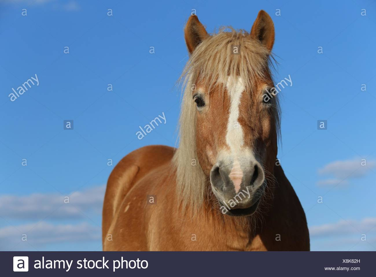 Haflinger Pferd Porträt Stockbild