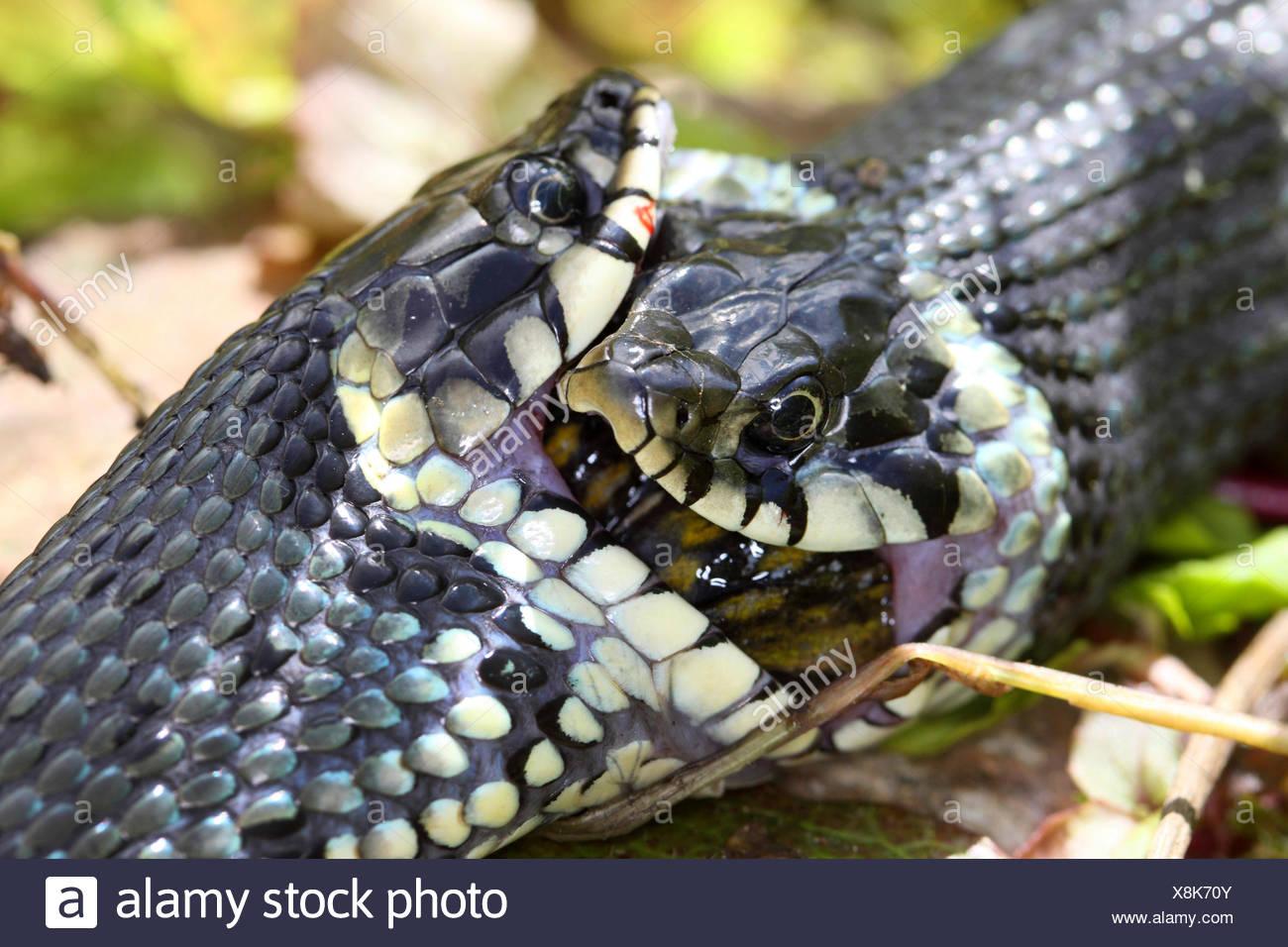 Ringelnatter (Natrix Natrix), Serie Bild 17, zwei Schlangen kämpfen für einen Frosch, Deutschland, Mecklenburg-Vorpommern Stockbild