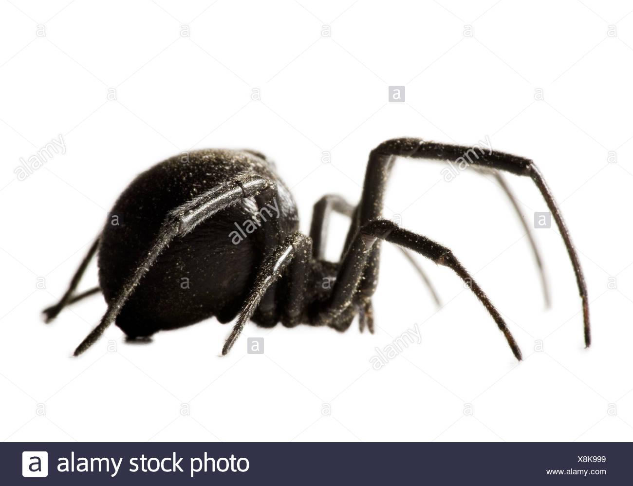 Erfreut Anatomie Einer Spinne Der Schwarzen Witwe Galerie - Anatomie ...