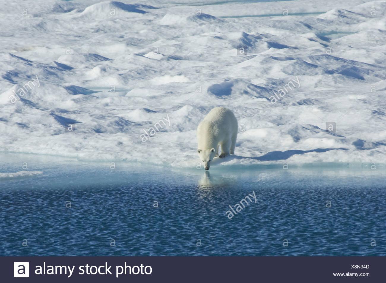 Polar bear in freier Wildbahn eine mächtige Räuber und gefährdeten oder potenziell gefährdeten Arten Stockbild