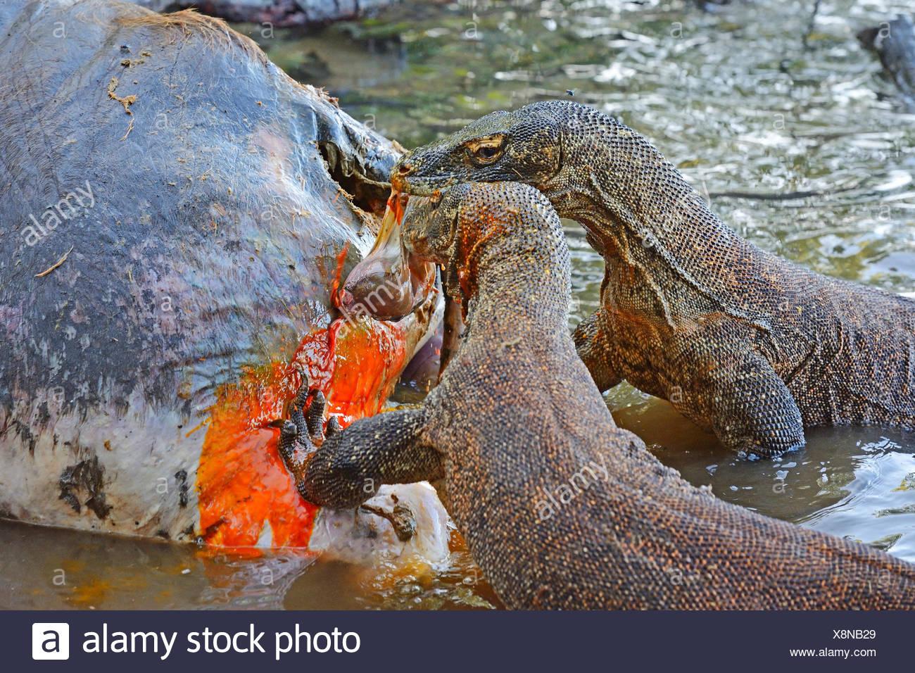 Komodo-Waran, Komodo Waran Komodowaran (Varanus Komodoensis), Zwei Komodowarane nochmals bin Kadaver Eines Im Flachwasser Verende Stockbild