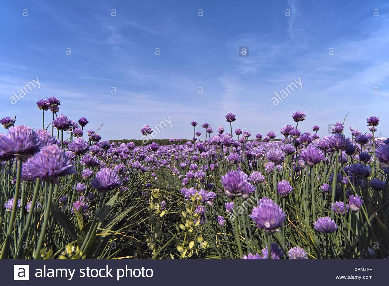 Allium schoenoprasum Schnittlauch Pflanze Marktfrische Pflanze