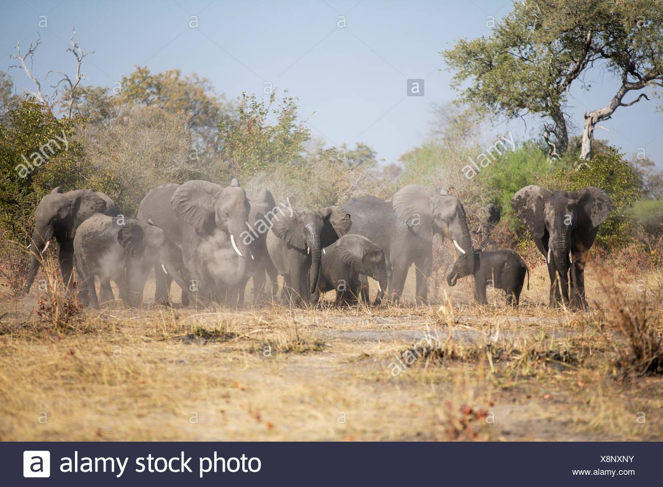 Afrikanische Elefanten (Loxodonta Africana) Herde aufwirbeln von Staub Caprivi Region, Namibia, Afrika Stockbild