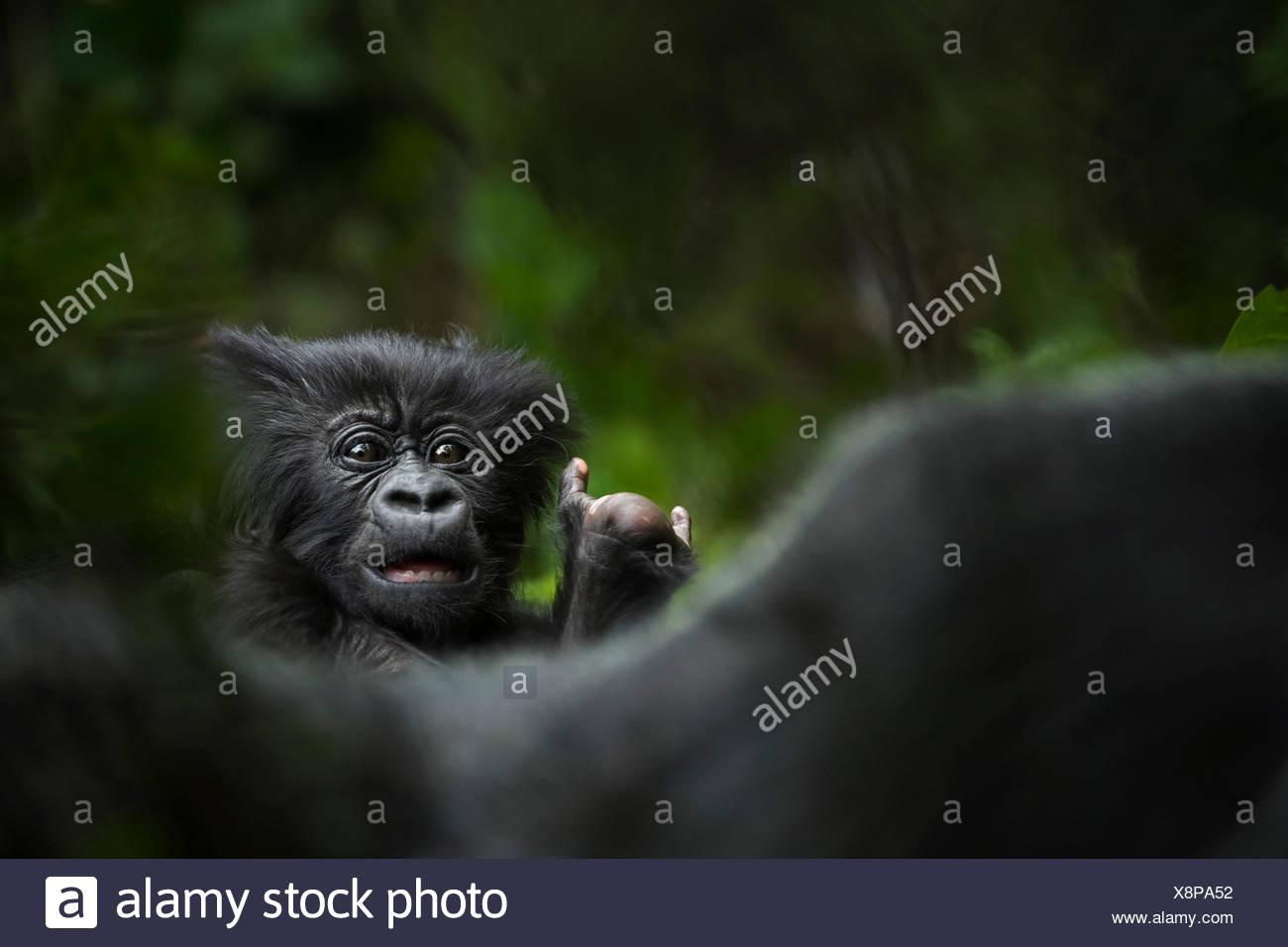Einen Berggorilla Junge in Volcanoes National Park. Stockbild