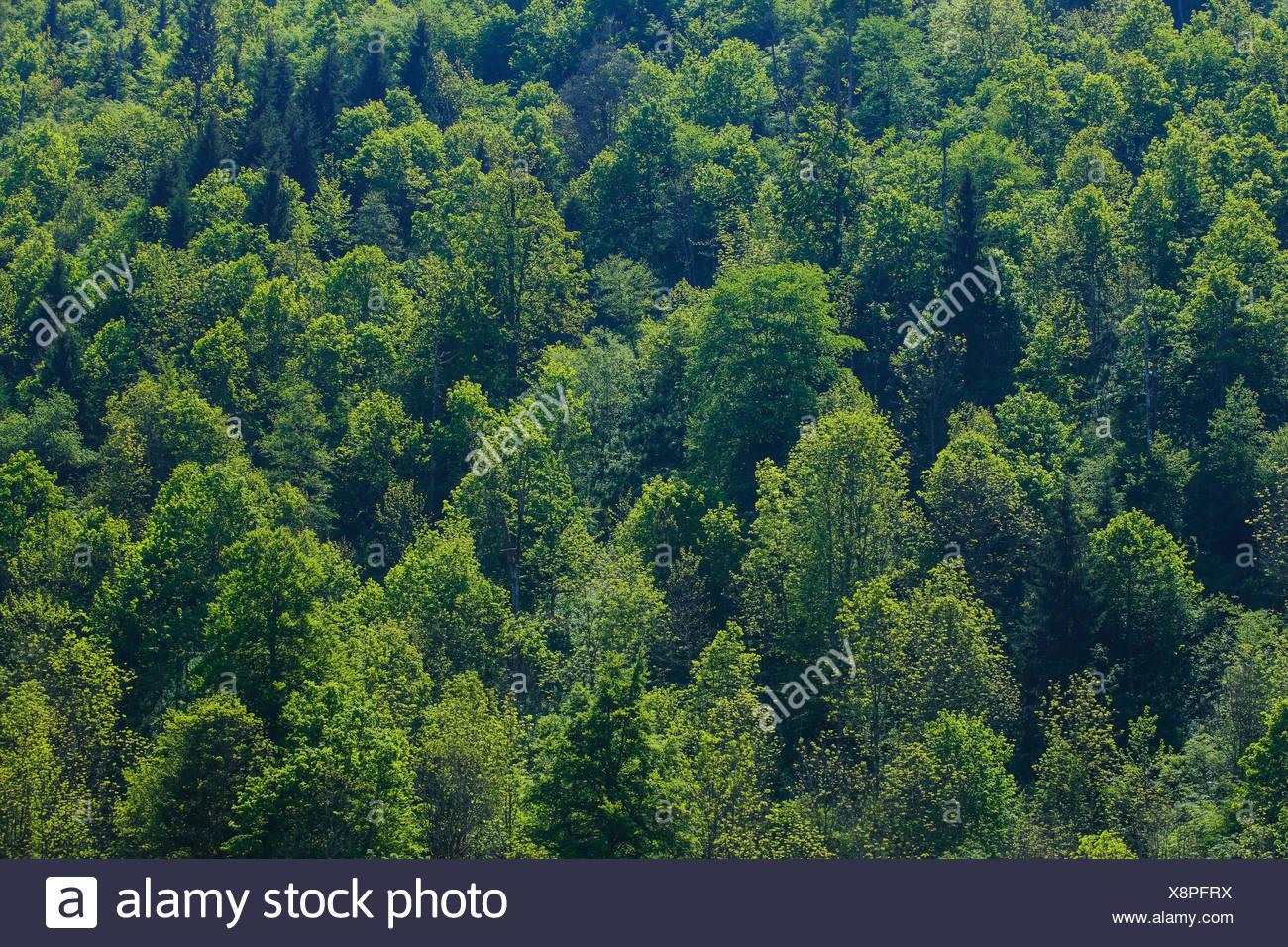 Schneiden, Teil, Baum, Buche, Bäume, Detail, Frühling, Kanton Glarus, Hintergrund, Abstrakt, grüne, Schweiz, Sommer, Holz, Wald Stockbild