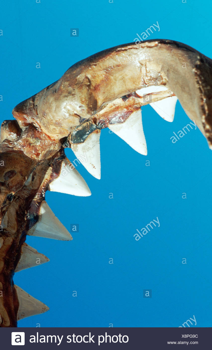 Weißer Hai Englisch