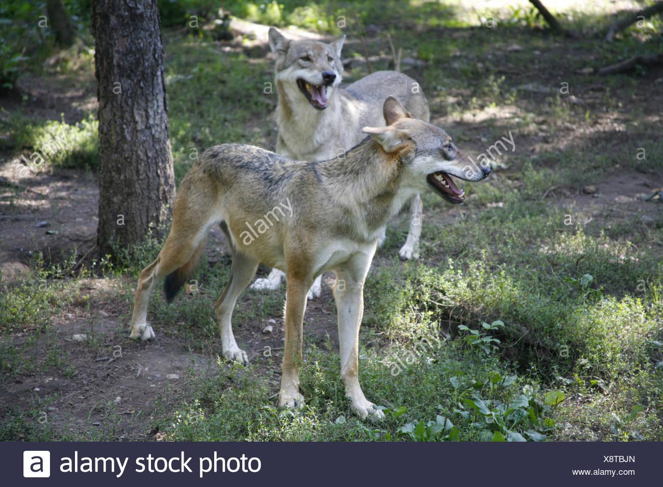 Prag, Tschechische Republik, Wald, Grauwolf, Canis Lupus, Natur, Tierwelt, Tier, Tiere, Saeugetier, Säugetier, Saeugetiere, Säug Stockbild