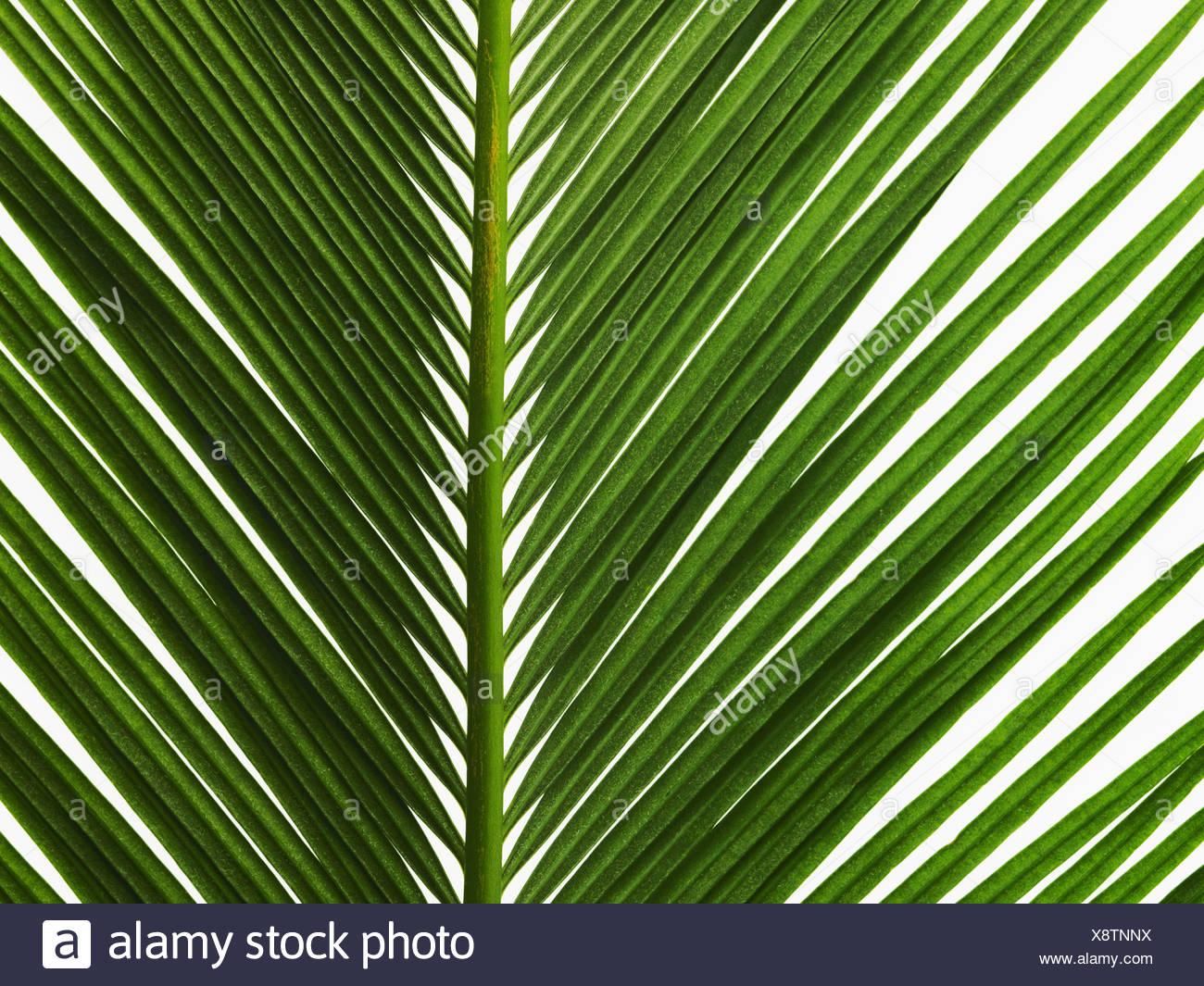 glänzend grüne Palmblatt hautnah mit Mittelrippe Stockbild