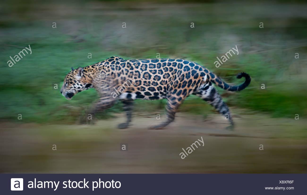 """""""Wilde weibliche Jaguar zu Fuß entlang der Ufer des Flusses Piquiri (ein Nebenfluss des Cuiaba River) in der Dämmerung. Nördlichen Pantanal, Brasilien Stockbild"""