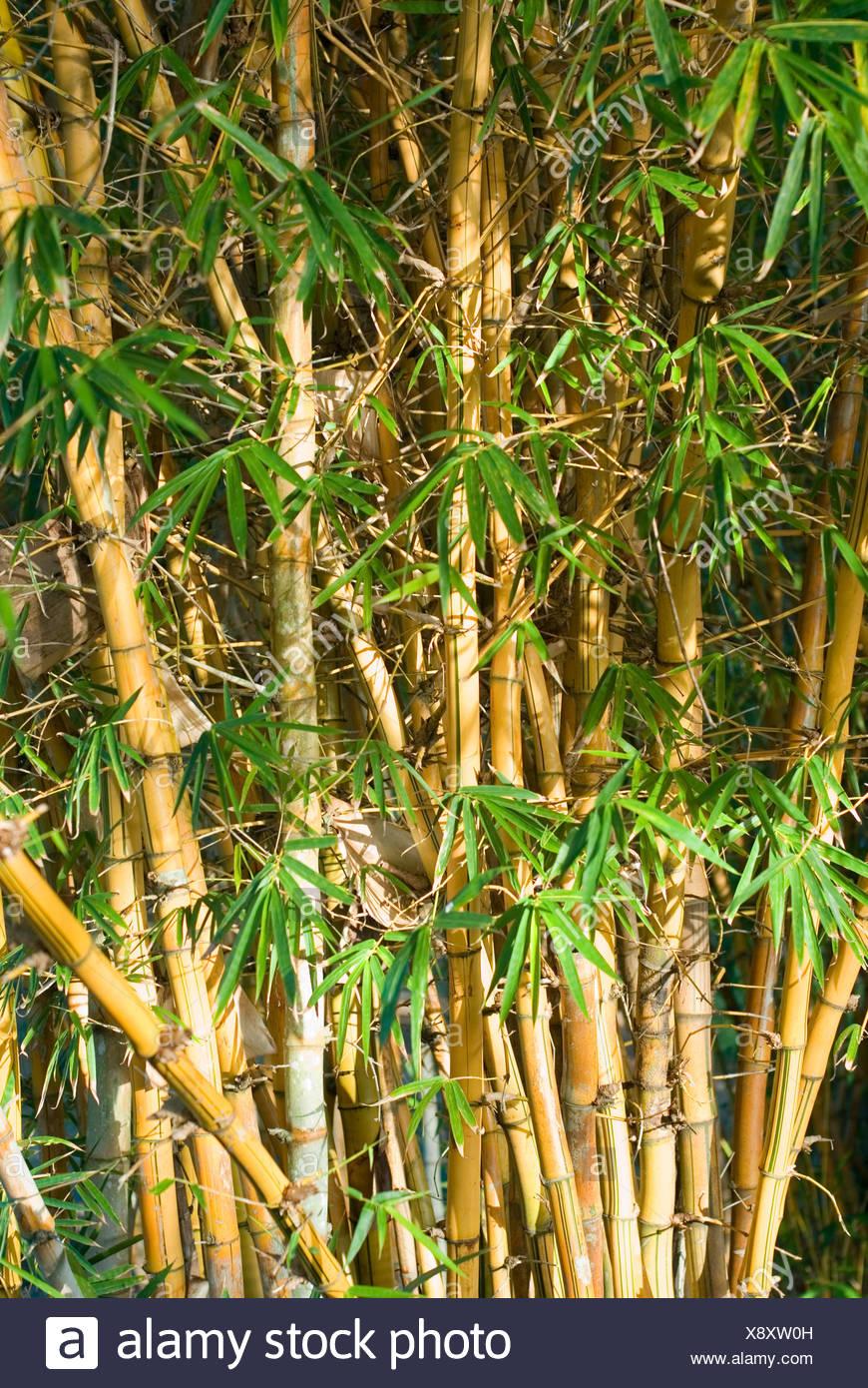 baum bäume hose spazierstock bambus asiatischen blatt baum garten