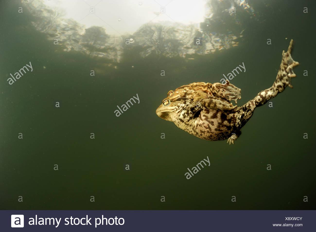 Paar von gemeinsamen europäischen Kröten (Bufo Bufo) gemeinsam schwimmen im Teich, Deutschland Stockbild