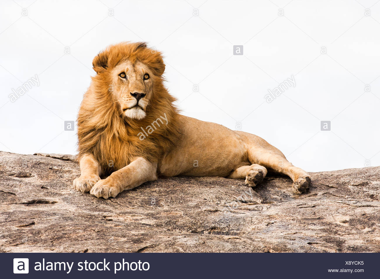 Löwe (Panthera Leo) auf einem Felsbrocken fotografiert in Tansania Stockbild