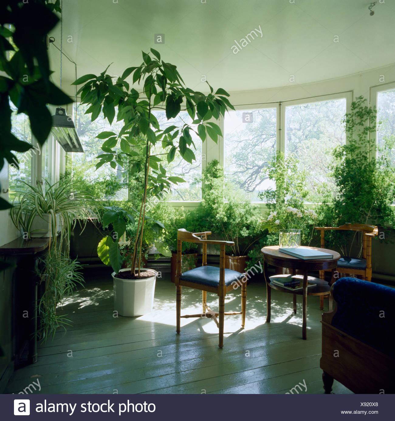 grosse grune zimmerpflanzen und einfach tisch und stuhle im weissen wintergarten mit weiss lackierten holzboden