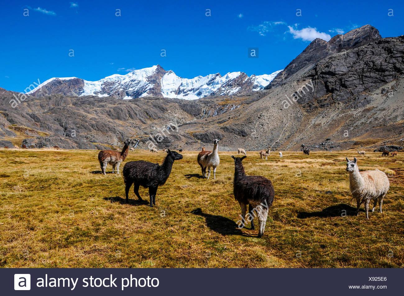 Bolivien, La Paz, Lamas in der Bolivianischen Hochebene Stockbild
