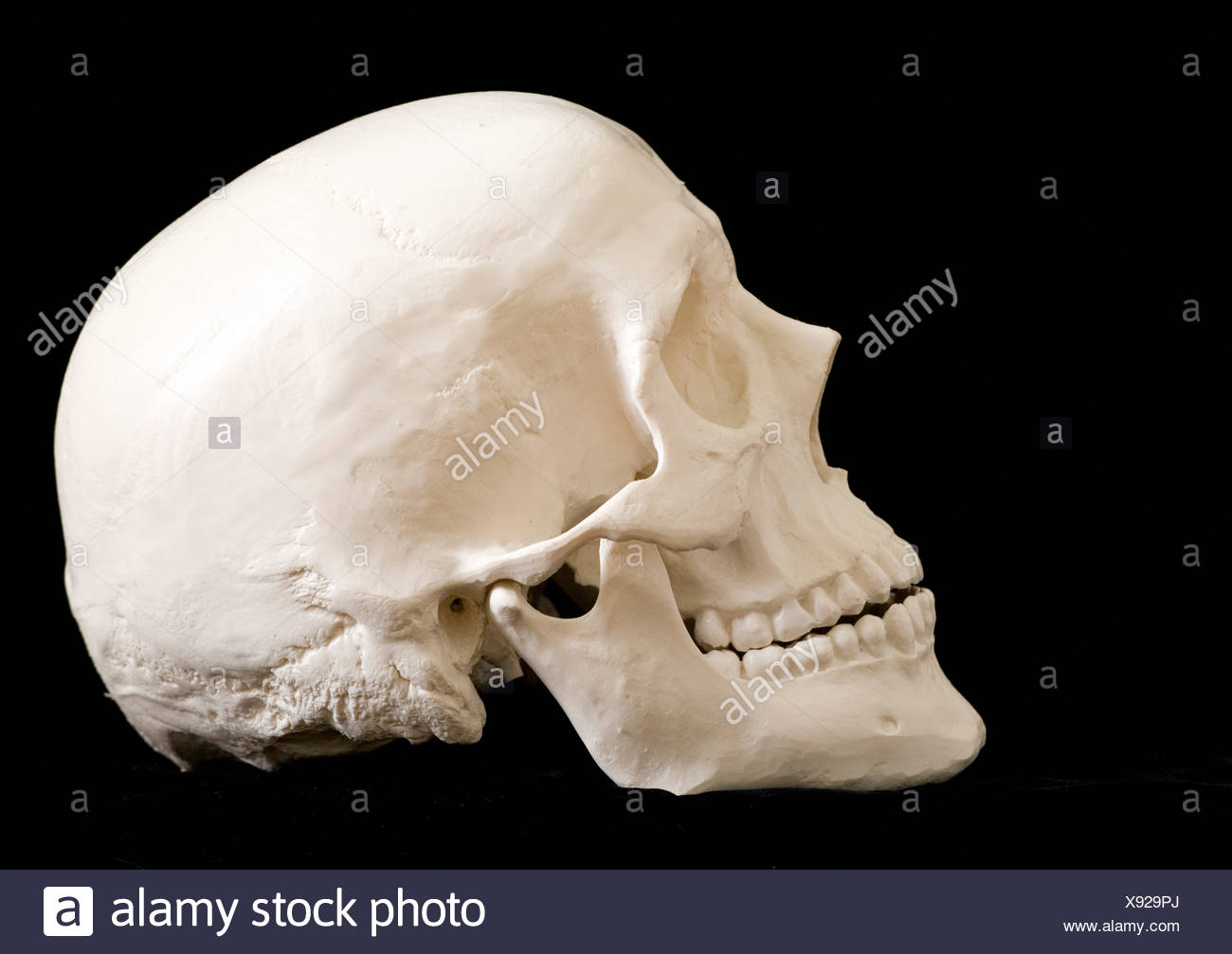 Mastoid Stockfotos & Mastoid Bilder - Seite 2 - Alamy