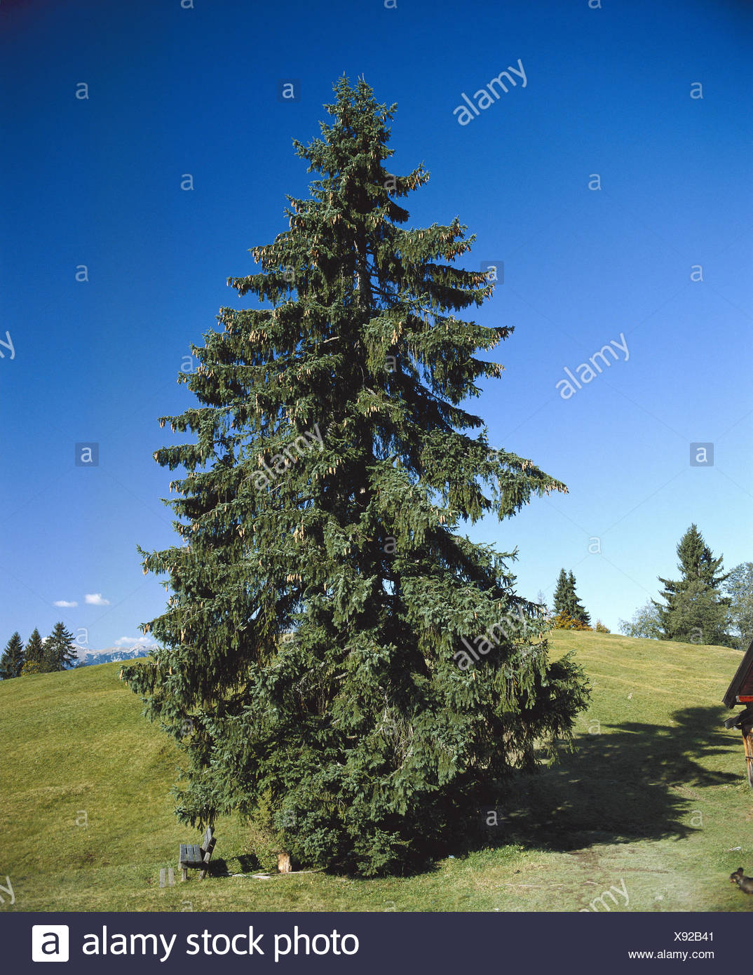 Super Berglandschaft, Fichte, Picea, Sommer, Landschaft, Alm, Wiese #XN_92