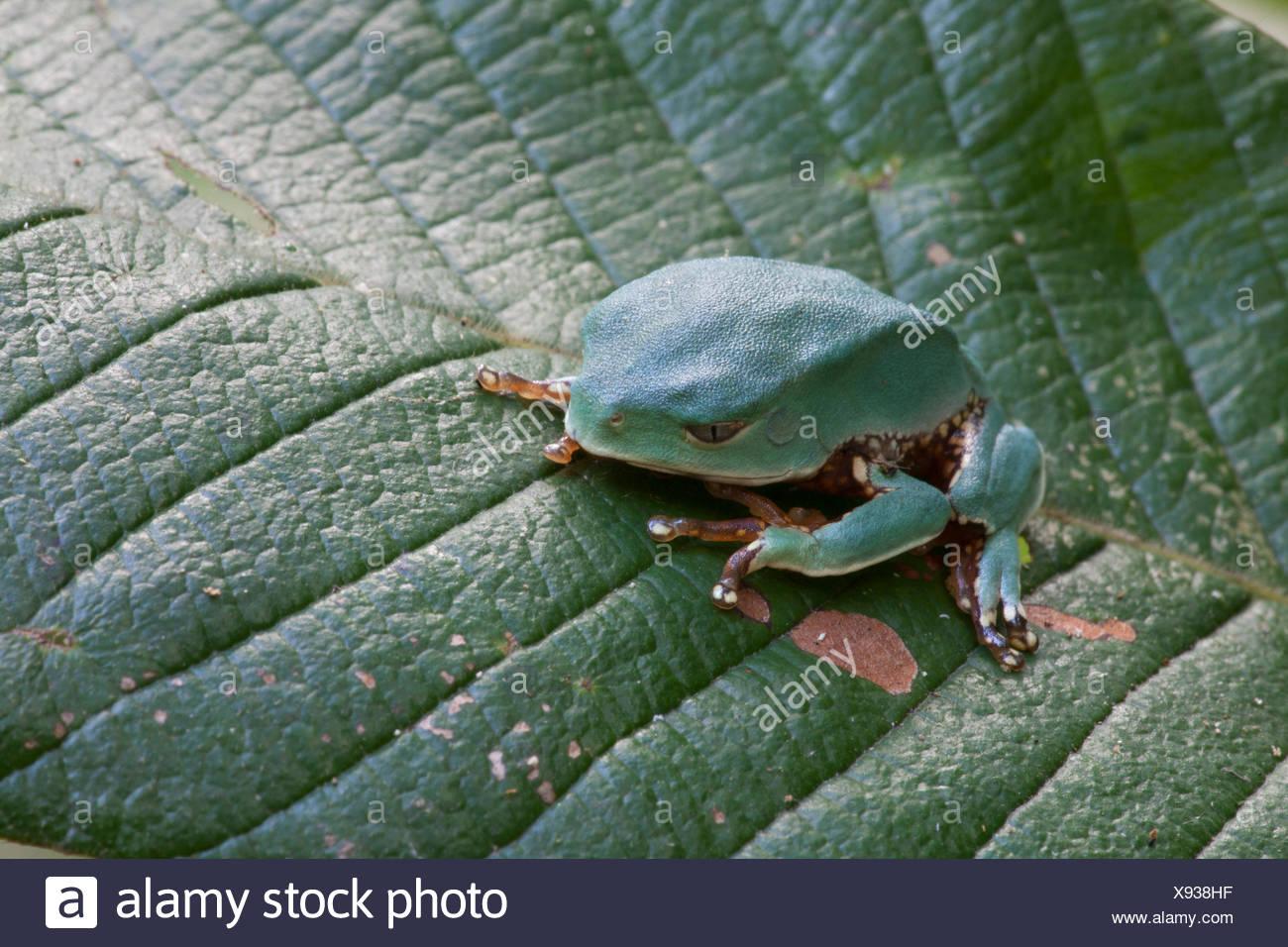 Ein Affe Frosch, Phyllomedusa Arten auf ein Blatt im Amazonas Regenwald. Stockbild