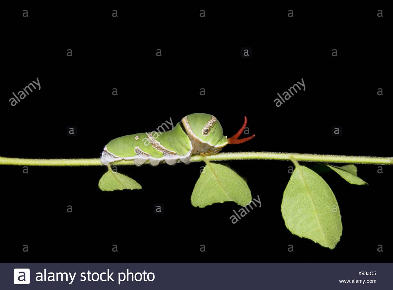 Caterpillar Common Mormon auf Curryblätter, Pune Papilionidae gefunden: Schwalbenschwänze Stockbild