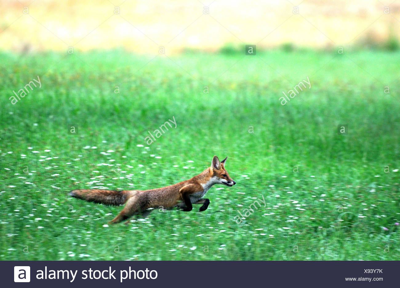 Rotfuchs fox Predator Caniden listige europäischen Fuchs Vulpes Vulpes Füchse junge Getreidefeld Maisfeld springen Tier Germa Stockbild