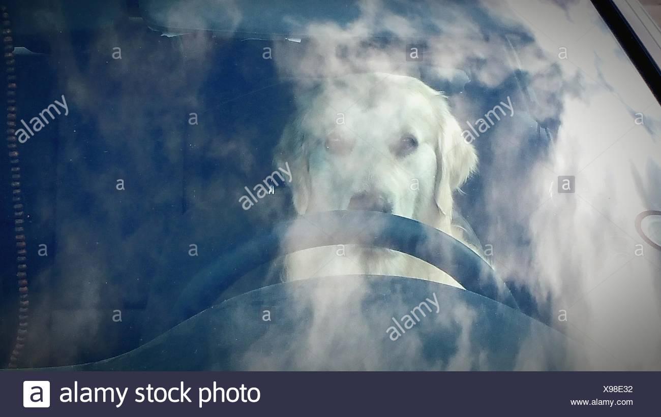 Hund im Auto gesehen durch Windschutzscheibe Stockbild