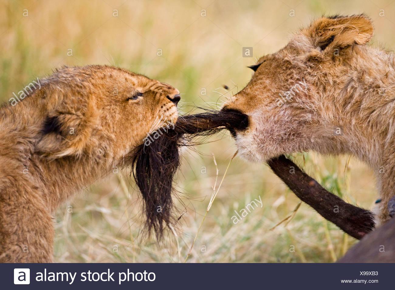 Afrika, Botswana, zwei Löwenbabys (Panthera Leo) spielen Stockfoto