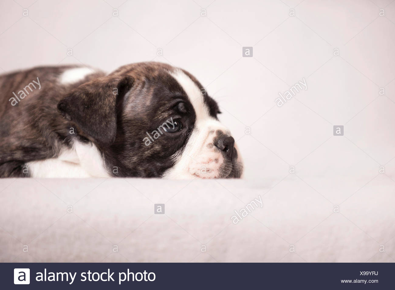 Atemberaubend Baby Bulldog Färbung Seiten Fotos - Druckbare ...