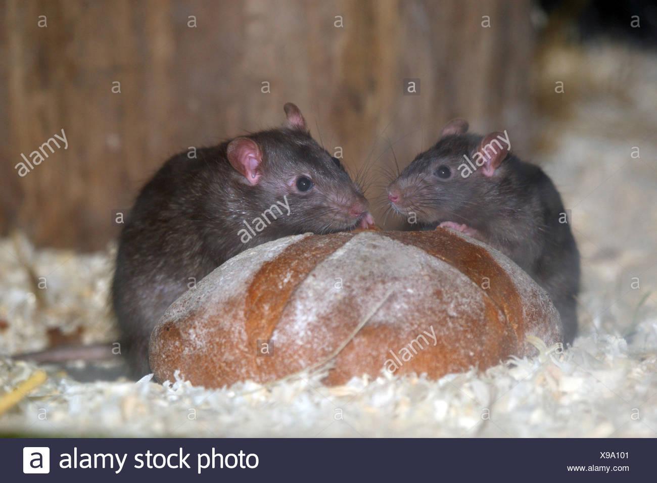 Schwarzen Ratten, Brot zu essen, Stockbild
