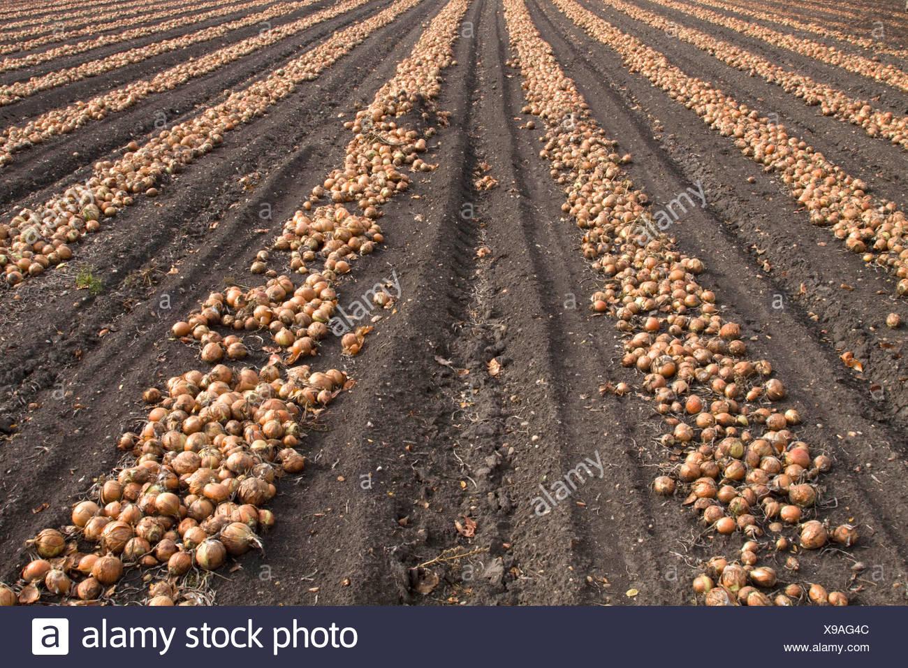 Garten-Zwiebel (Allium Cepa) geernteten Zwiebeln liegen in Reihen auf ein Feld für die Trocknung, Österreich, Burgenland Stockbild