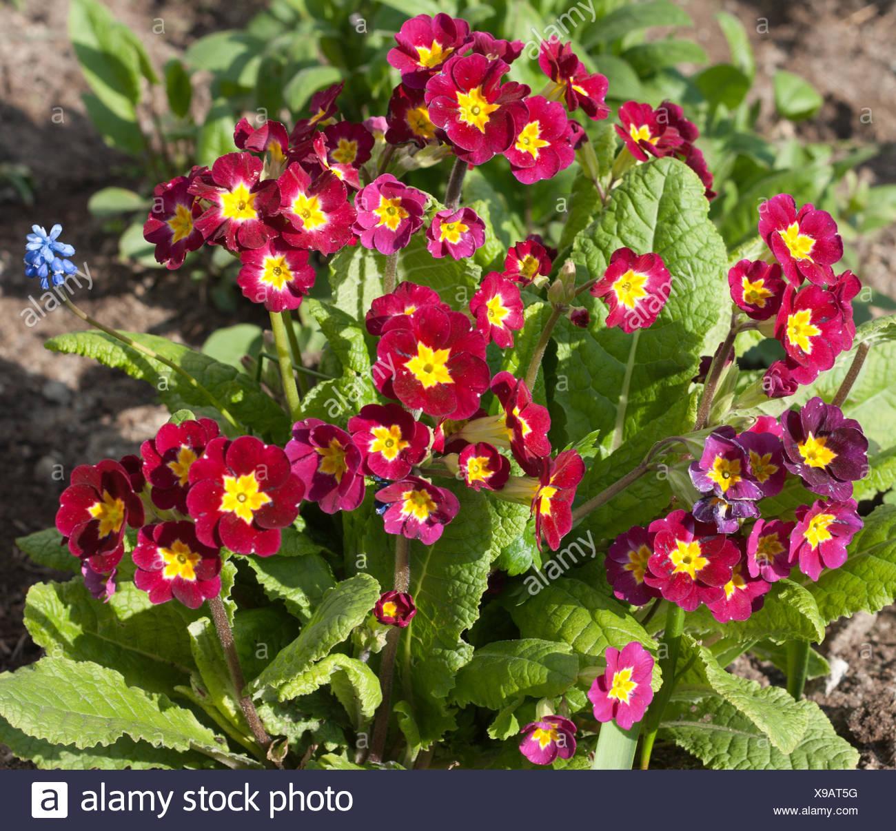 Blue Springtime Flowers Stockfotos & Blue Springtime Flowers Bilder ...