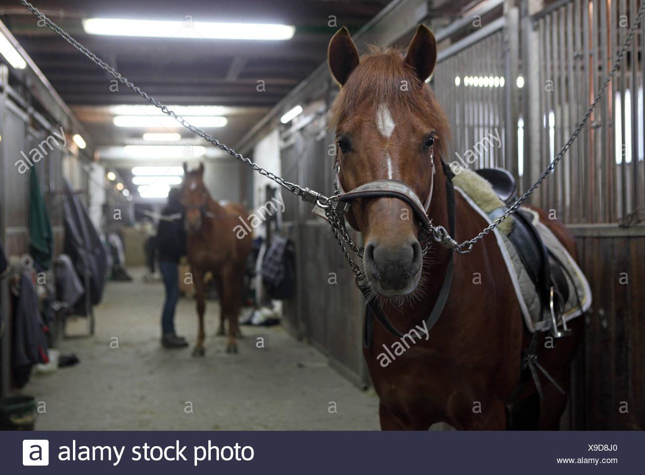 Berlin, Deutschland, Pferde in der Stallgasse angebunden sind ein Pferdestall Stockbild