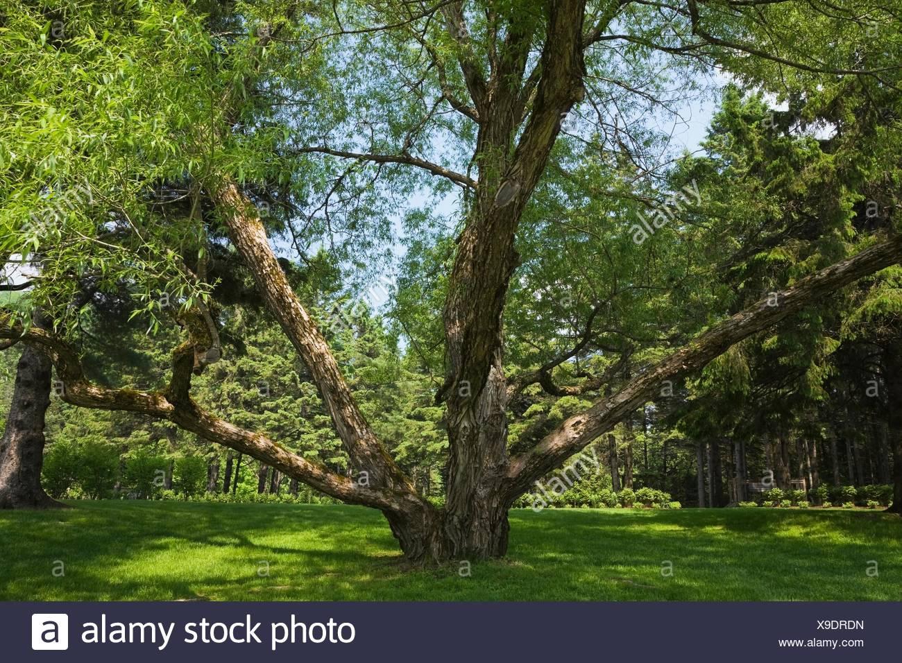 Große Alten Beschnitten Weide Salix Im Land Garten Im Frühling