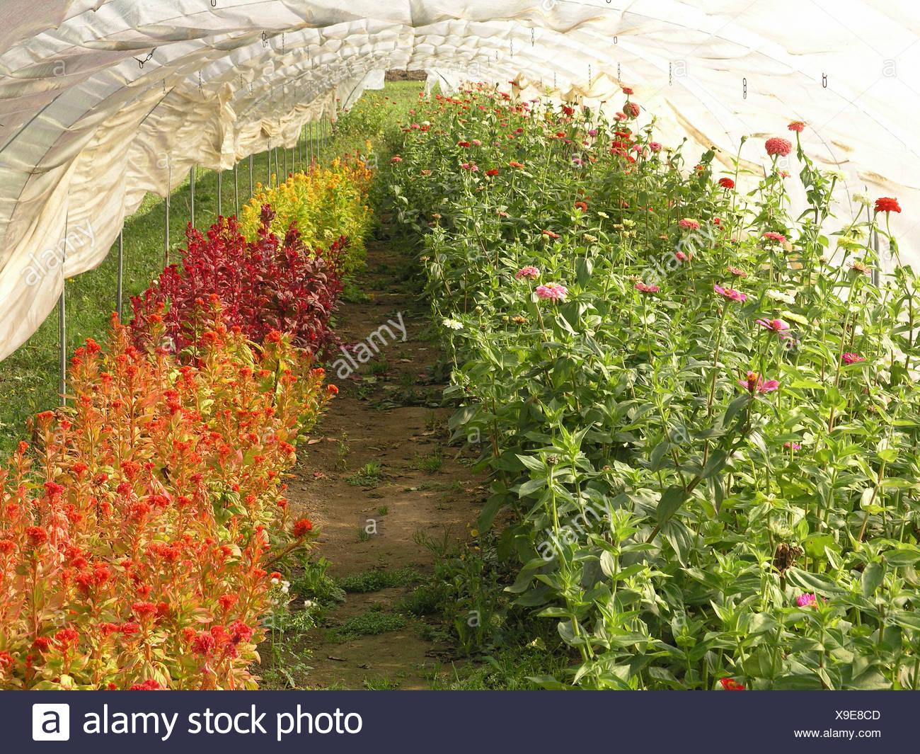 Schweiz Grtnerei Abdeckung Abgedeckt Pflanzen Feld Landwirtschaft Gewchshausgartenarbeit Innerhalb Blumen Blte