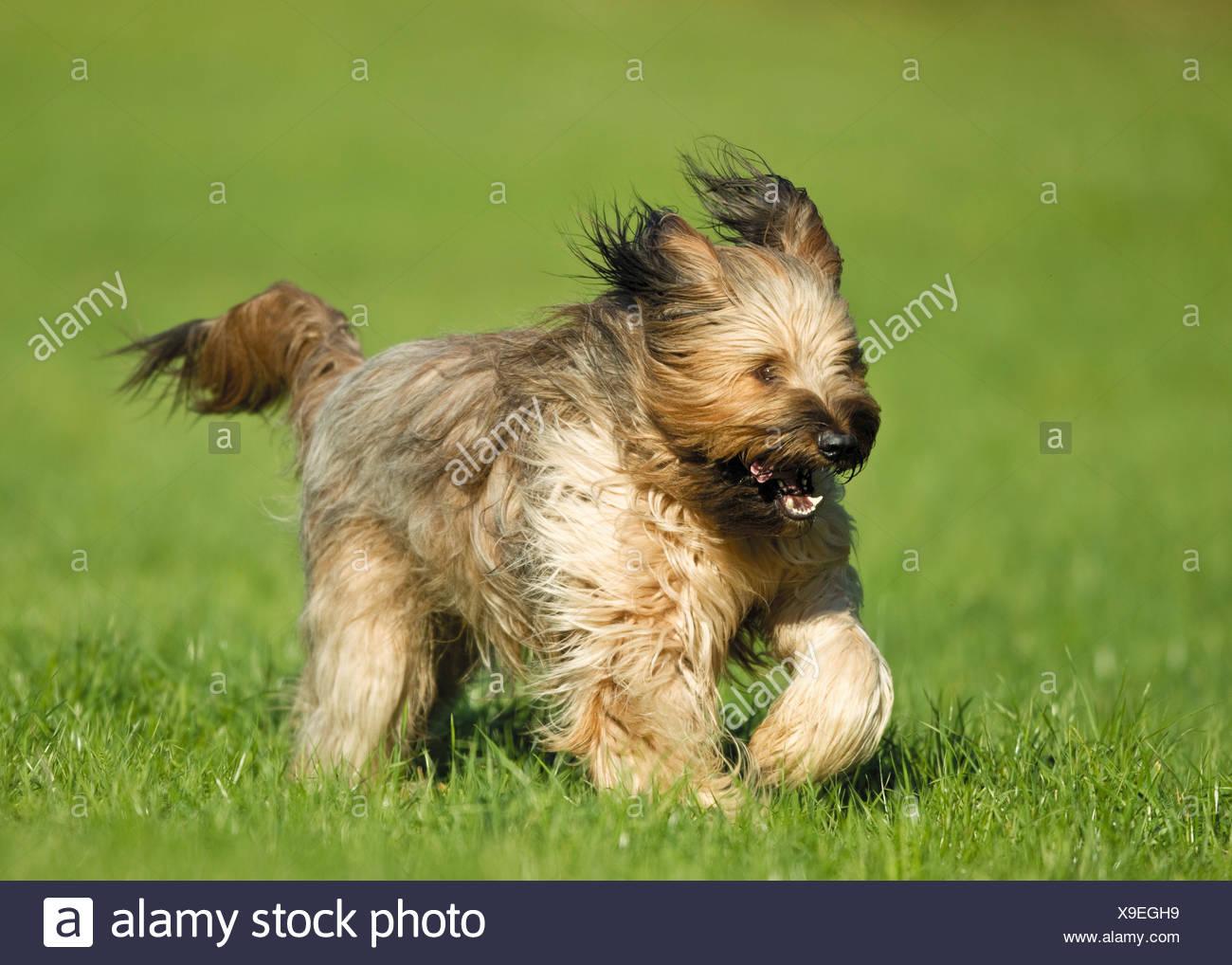 Briard Hund - läuft auf Wiese Stockbild