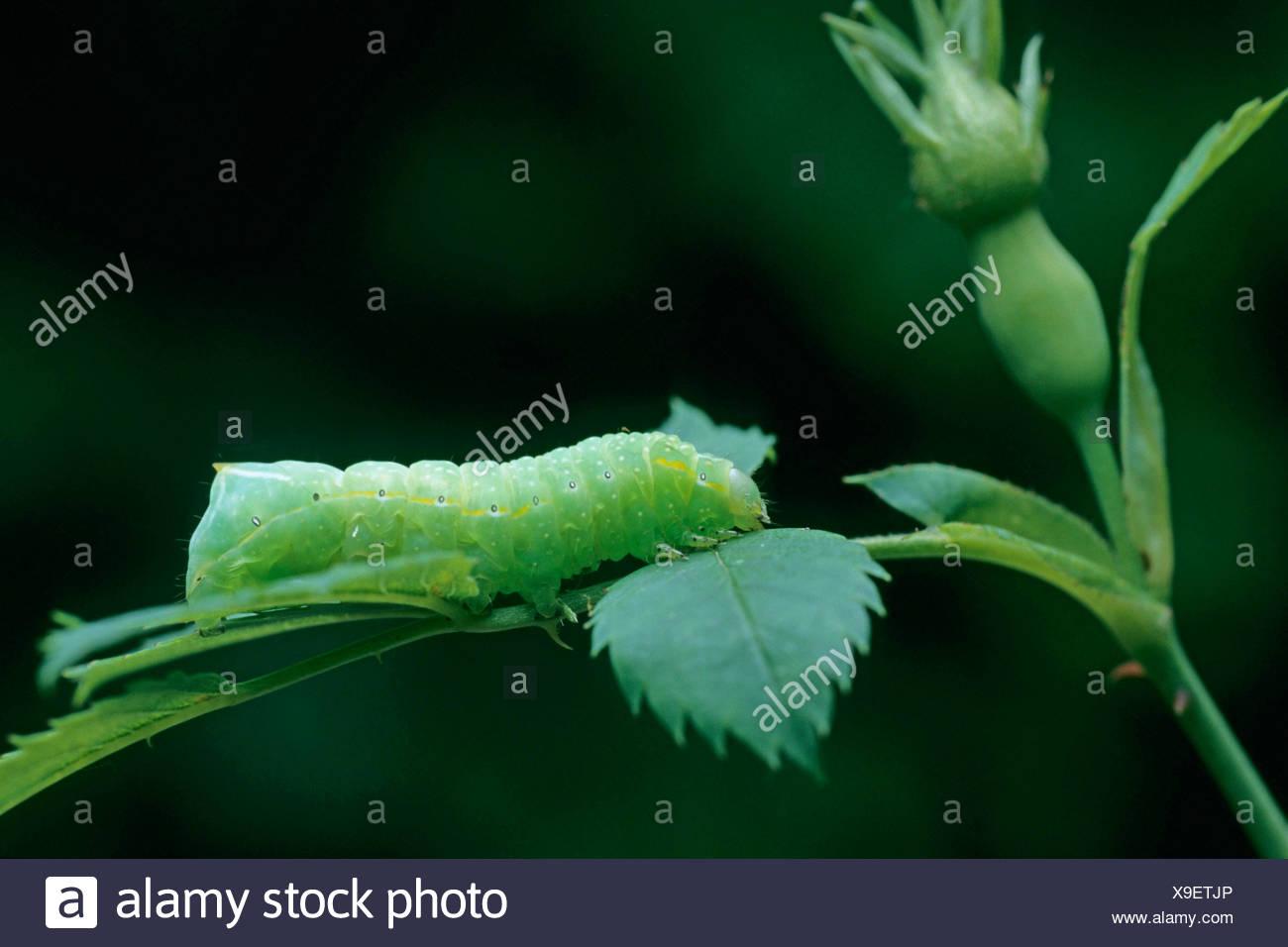 Kupfer-Underwing, bucklig grün Fruitworm, pyramidalen Green Fruitworm (Amphipyra Pyramidea), an einem Stiel Stockbild