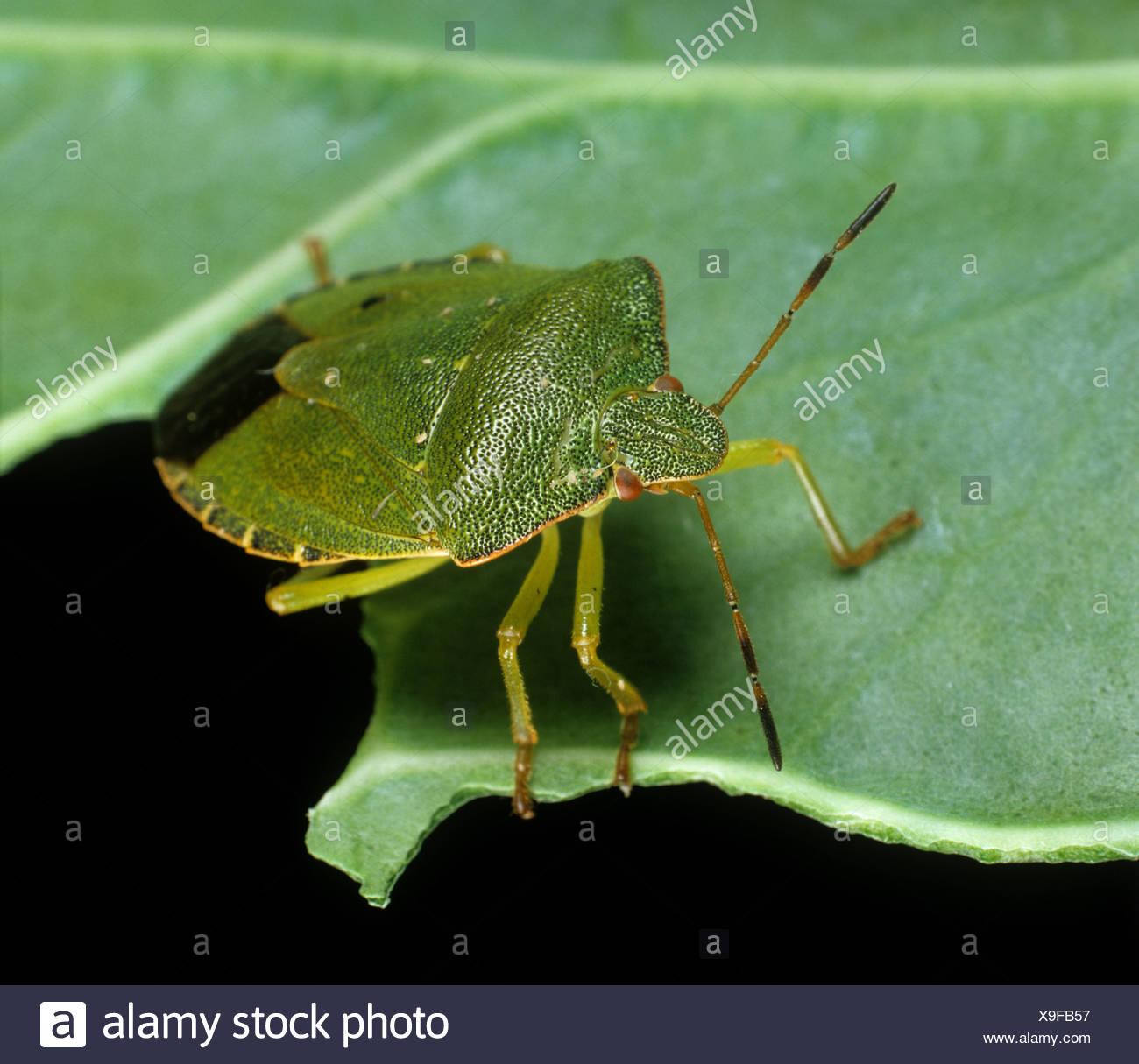 Grünes Schild Bug (Palomena Prasina) Erwachsenen auf einem Blatt Stockbild